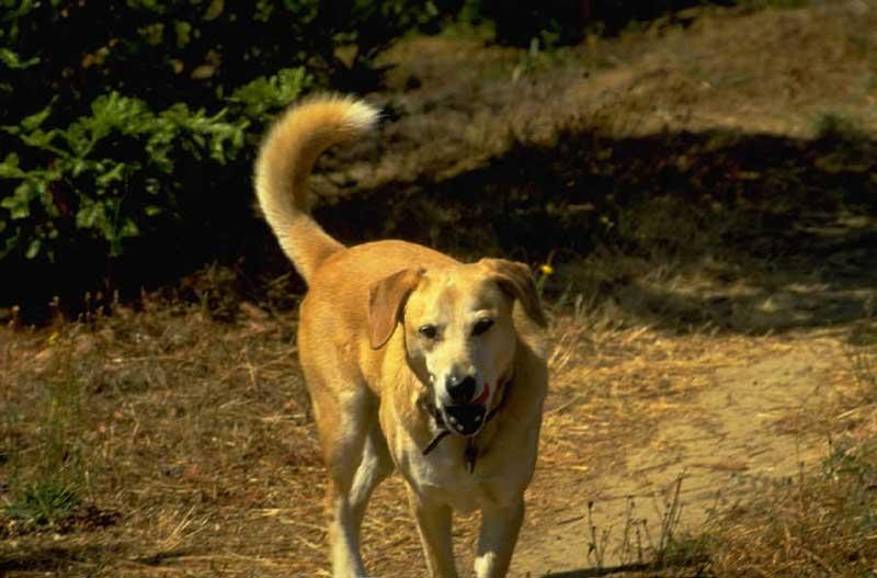 hund-1729