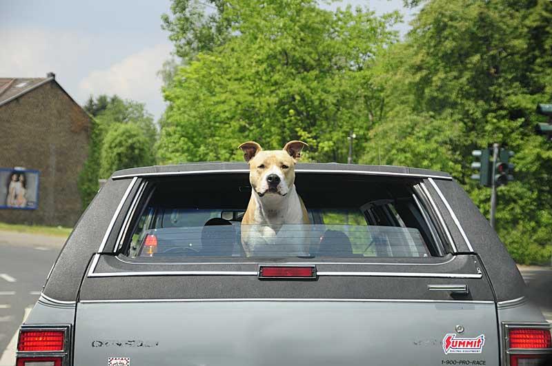 car-pitbull_pb