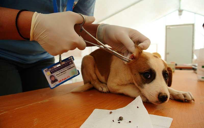Bei diesem Hund hat der Tierarzt gleich mehrere Zecken entfernt. © VIER PFOTEN, George Nedelcu