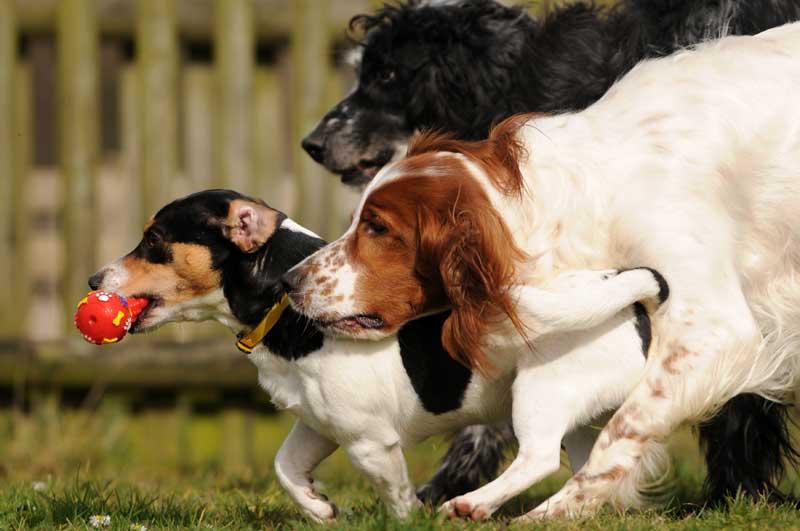 In gut geführten Hundepensionen haben die Hunde gemeinsamen, freien Auslauf. Ein umfassender Impfschutz ist deshalb besonders wichtig. Foto: Carola Schubbel - Fotolia.com/BfT