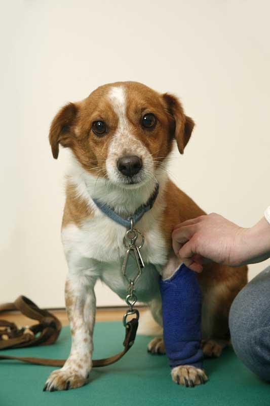 Hund mit Verband. Foto: IVH