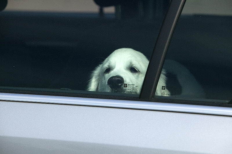 Tödliche Hitzefalle: Jedes Jahr sterben Hunde im Sommer im aufgeheizten Auto, weil Tierhalter die Gefahr unterschätzen (Foto: © TASSO e.V.)