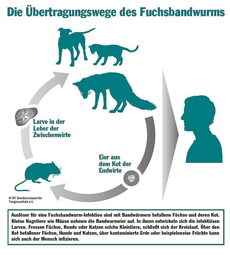 Übertragungswege Fuchsbandwurm (Grafik: BfT)