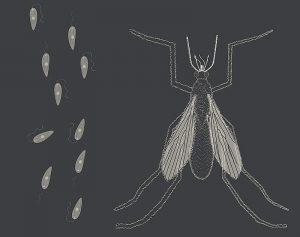 Leishmanien, winzige Einzeller, die von Sandmücken der Gattung Phlebotomus mit dem Stich übertragen werden