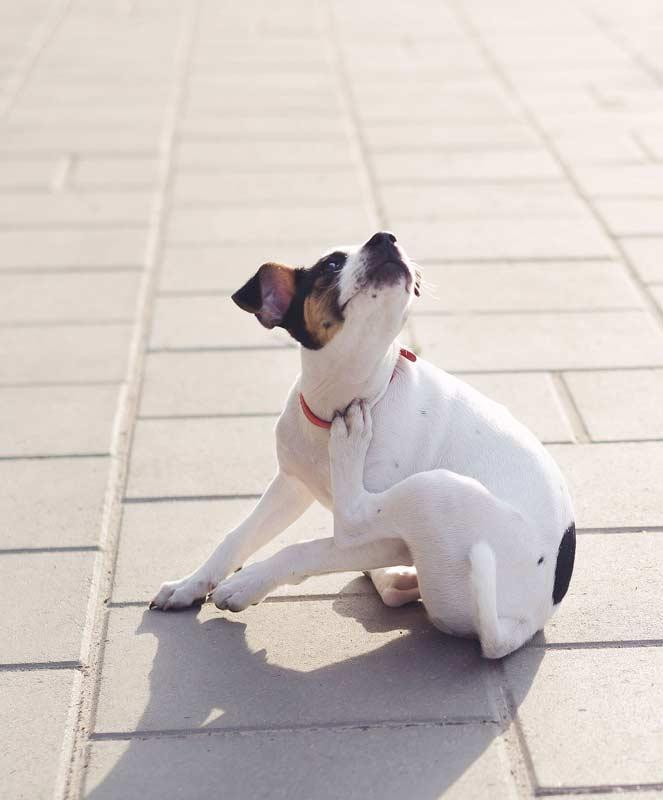 Bayer, Juckender Hund (Foto: © Mila-fotolia-com)