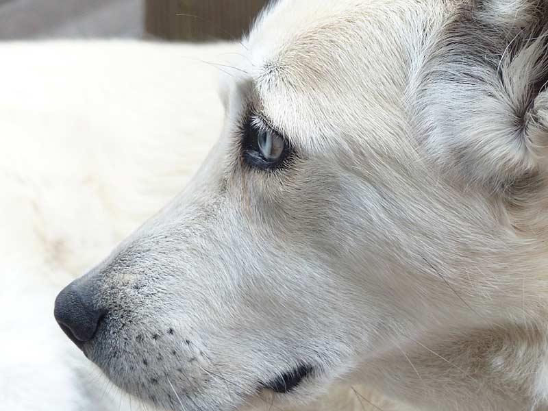 Die Symptome bei Demenz sind für den Hundehalter oftmals schwer einzuordnen