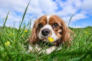Grasfressen kann bei Hunden zu Infektionen mit Lungenwürmern führen