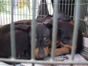 Skrupelloser Welpenhandel von osteuropäischen Hundefarmen (Foto: © VIER PFOTEN)