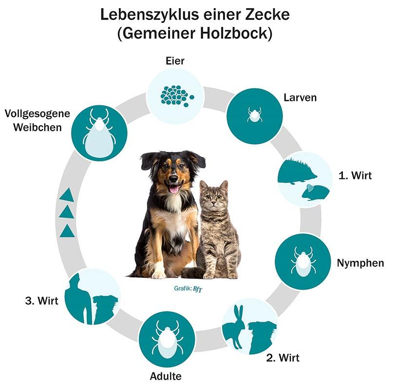 BfT-Lebenszyklus Zecke