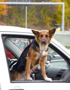 Verkehrsrechtlich gilt ein Hund während der Fahrt als Ladung