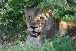 Für Tiershows werden Großkatzen zum Teil aus der Wildnis gefangen und mit gewaltsamen Methoden gefügig gemacht (Foto: © TASSO e.V.)