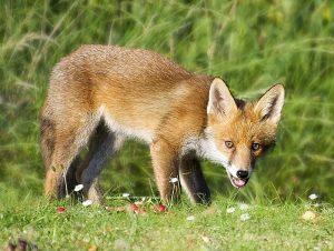 Der Rotfuchs (Vulpes vulpes) ist in Europa der häufigste Wildhund.