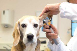 Der Blick ins Ohr durch den Tierarzt hilft Probleme abzuklären (Foto: BfT/Adobe/Ivonne Wierink)