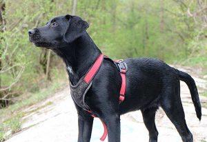 PETA empfiehlt Hundehaltern für ihren Vierbeiner ausschließlich gut sitzende Brustgeschirre