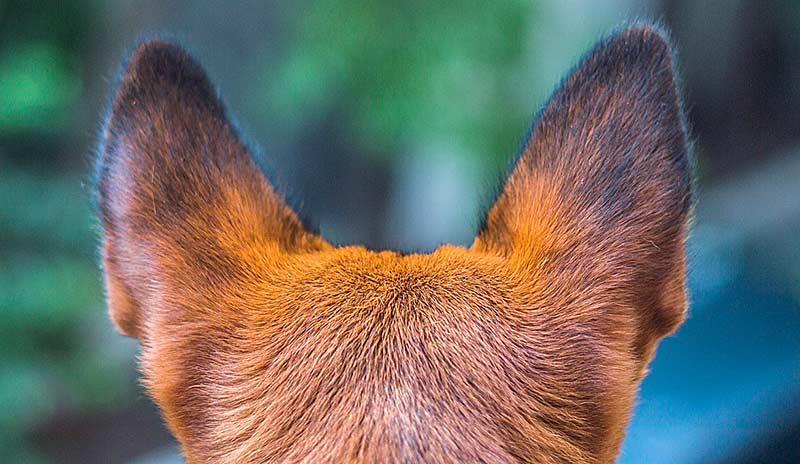 Es ist wichtig, eine Ohrenentzündung beim Hund frühzeitig zu erkennen.