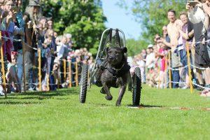 Beim beliebten Hunderennen beim Tierschutzfest im Tierheim Süderstraße geben auch die Teilnehmer mit Rollstuhl Vollgas (Foto: Lydia Ulbrich)