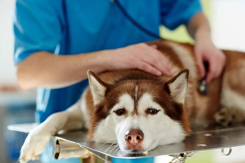 Geht es dem Hund schlecht, sollte der Tierarzt konsultiert werden. Er hat eine Vielzahl von Diagnosemöglichkeiten (Foto: BfT/pressmaster/shutterstock.com).