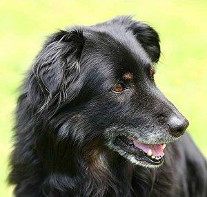 Einem Senior-Haustier ein Zuhause und einen glücklichen Ruhestand zu geben, ist eine lohnende Erfahrung und ein wunderbares Gefühl.