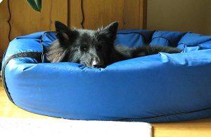 Die Anwesenheit des Hundes im Schlafzimmer kann sich positiv auf den Schlaf des Halters auswirken.