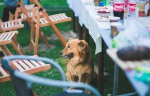 Einer der größten Fehler, die Hundehalter machen können, besteht darin, Hunden vom Tisch aus Speisen zu reichen.