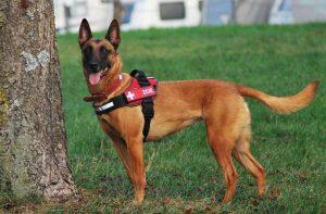 Zoe ist darauf trainiert, verschiedene Arten von Schädlingen aufzuspüren und zu melden (Foto: Neozoen Detection Dogs)