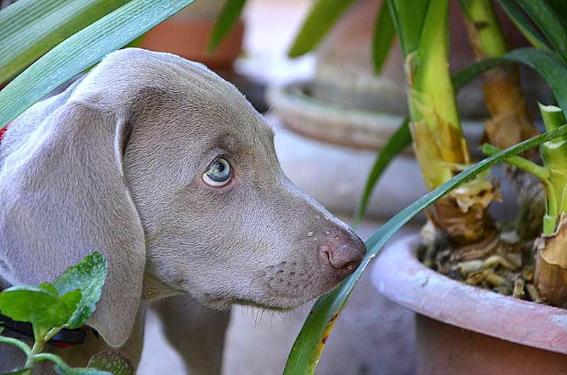 Neben giftigen Pflanzen wie Goldregen, Herbstzeitlose, Holunder und Kirschlorbeer lauern in Garten weitere Gefahren.