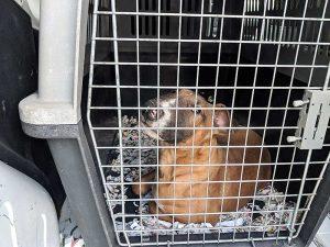 Der Bullterrier-Welpe ist nun in Sicherheit (Foto: © PETA Deutschland e.V.)