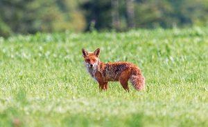 Fuchsräude wird durch Sarkoptes-Milben hervorgerufen. Für Füchse endet die Krankheit oft tödlich.