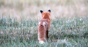 Die Gefahr, als Mensch an den Folgen eines Fuchsbandwurmbefalls zu erkranken, ist verschwindend gering