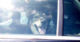 Tödliche Hitzefalle: Jedes Jahr sterben Hunde im Sommer im aufgeheizten Auto, weil Tierhalter die Gefahr unterschätzen (Foto: TASSO e.V.)
