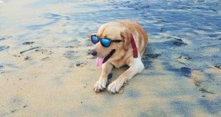 Hunde, die ihre Halter bei Urlaubsreisen nach Süd- und Südosteuropa begleiten, sollten unbedingt vor Leishmaniose geschützt werden.