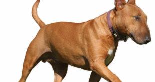 Sachsen-Anhalt: Miniatur Bullterrier kein gefährlicher Hund im Sinne des Gesetzes