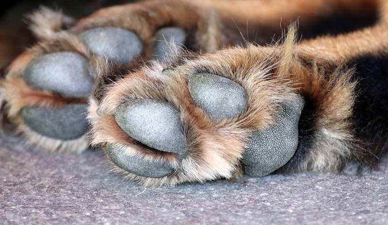 Achtsamkeit beim Gassigehen: Heißer Asphalt kann zu Verbrennungen an Hundepfoten führen