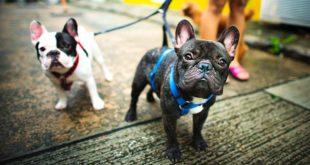 Ministerin Klöckner will Qualzuchten auf Hundeausstellungen verbieten