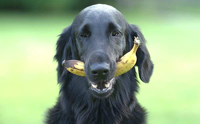 Hunde sind Nachfahren der Wölfe, gehören zu den Allesessern. Deshalb können sie von einer pflanzenbasierten Ernährung profitieren