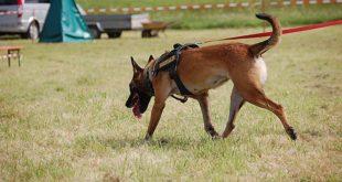 Mantrailing ist die Personensuche unter Einsatz von Gebrauchshunden, die Mantrailer oder Personenspürhunde genannt werden