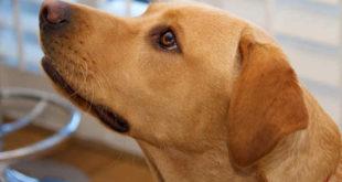 Diabetes mellitus - Zuckerkrankheit bei Hunden