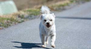 Kleiner Hund: Einstufung als gefährlicher Hund