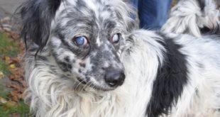 Blinder, alter Hund im Wald zurückgelassen