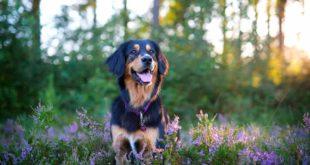 Pollenallergie beim Hund
