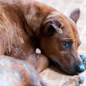 Hund mit starkem Grabmilbenbefall