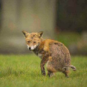 Haarausfall bei einem räudigen Fuchs